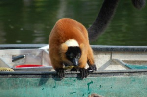The Red Ruffed Lemur is often up to mischeif!