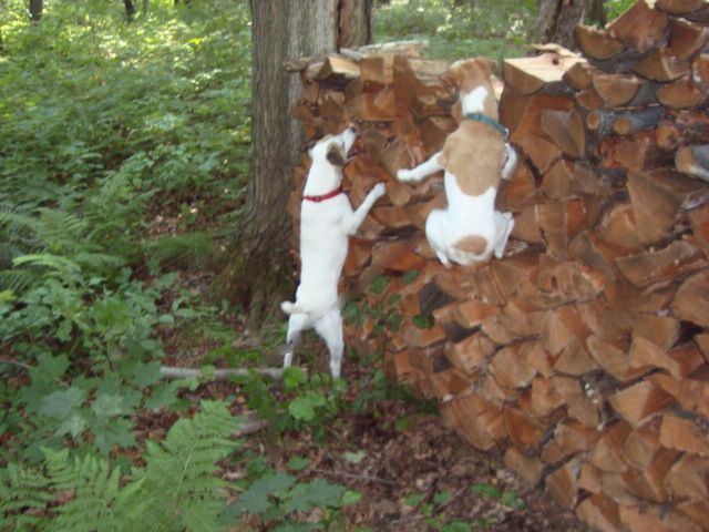 Two of my dogs, Frasier and Gracie (air born,)  hunting the woodpile.