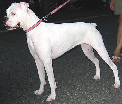white_boxer_dog