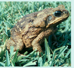 The dreaded Bufo toad, a true danger for dogs.