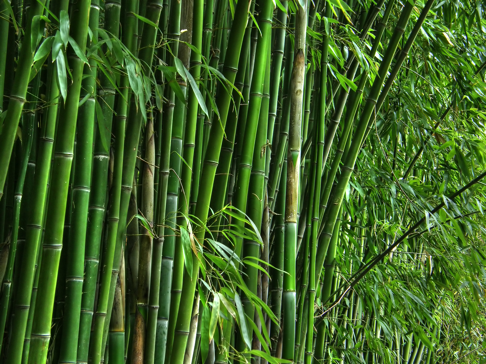 """Tropical Bamboo In The U.S.,"""