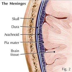 meninges-2