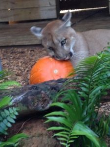 puma and pumpkin