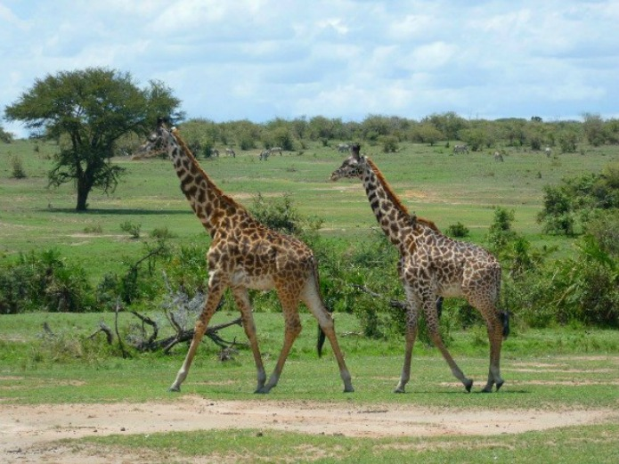 Giraffes on the Serengeti on a Tanzania Safari Travel with Terri