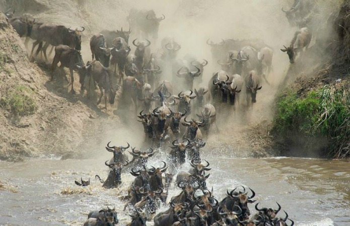Wildebeest crossing the Mara River on a Tanzania Safari in Travel With Terri
